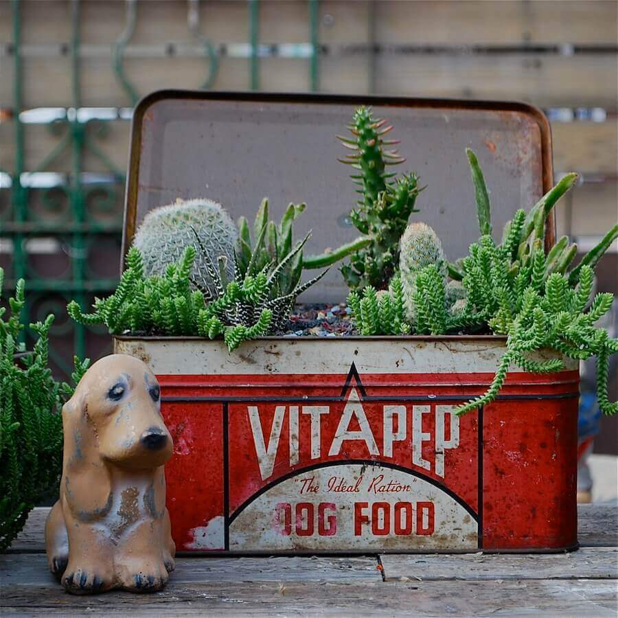 Cacti in a Vintage Tin