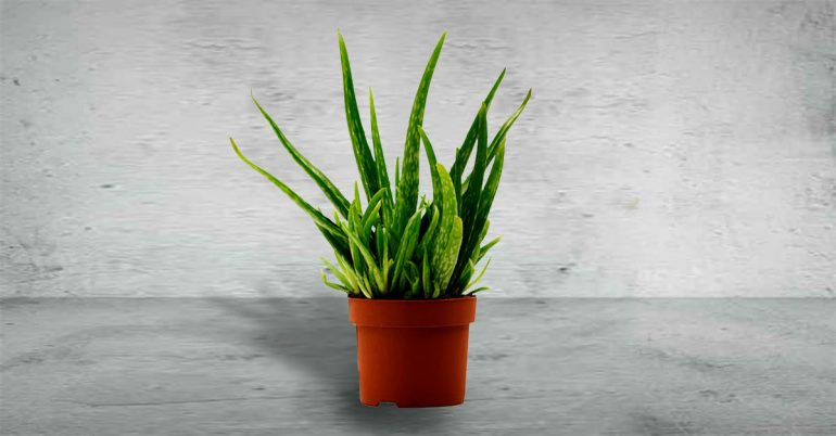 Like the snake plant, aloe emits oxygen at night. And huge bonus: all those beauty uses!