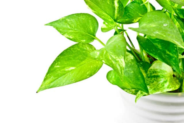 One of the easiest plants to grow (it requires almost NO care at all), the leafy Golden Pothos is another NASA-approved choice for air purification.