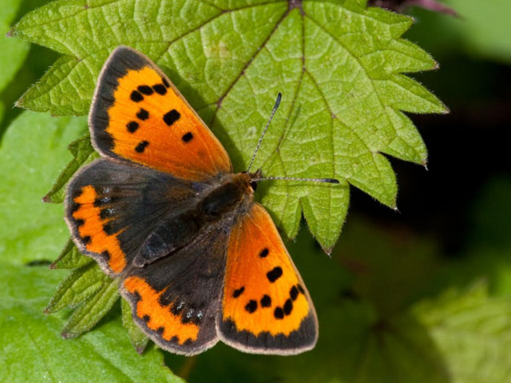 Little copper butterfly