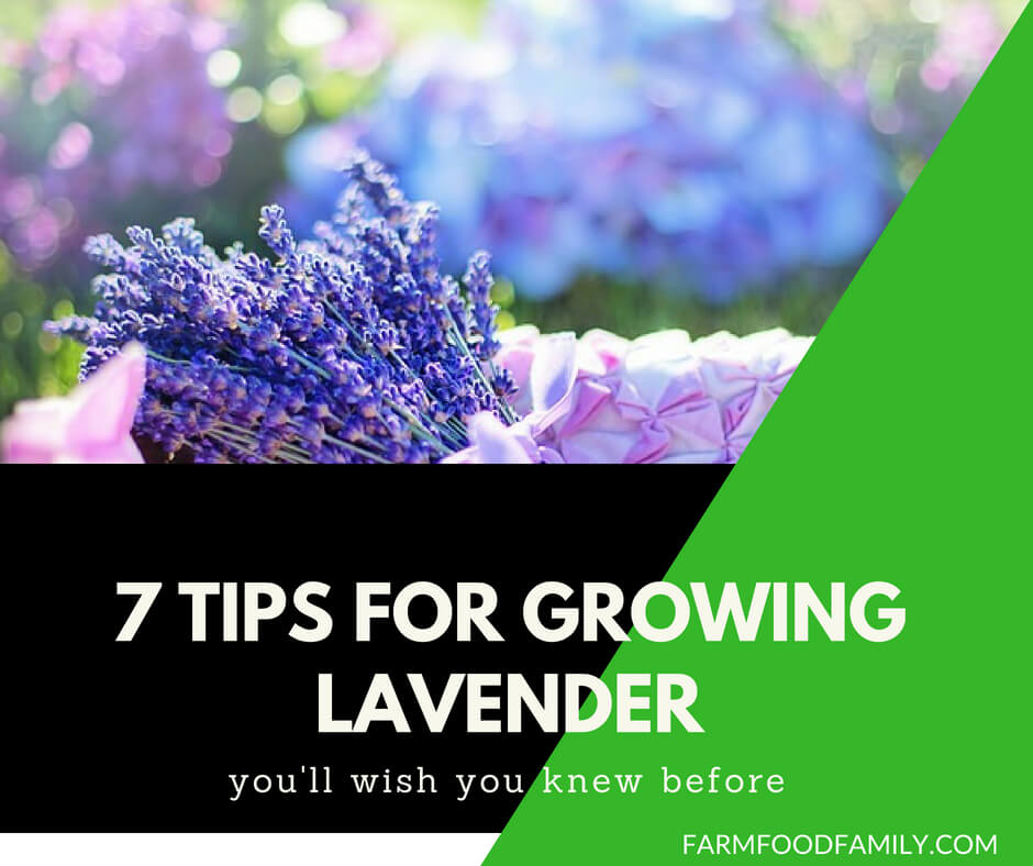 How to grow lavender (7 tips)