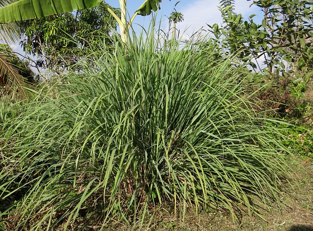 Citronella is the oil that is found in lemongrass. This oil repels spiders and prohibits them from coming back.