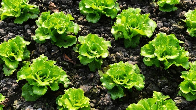 How to grow and Harvest Lettuce