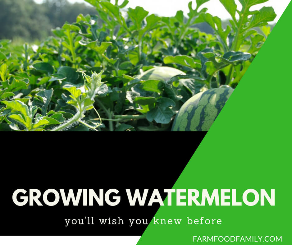 Growing watermelon: Everything you need to know