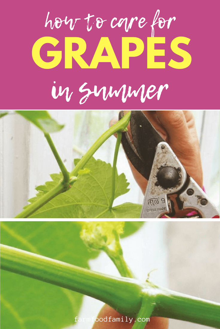 Grapevines are rampant plants that need to be kept under control. #gardeningtips #garden #farmfoodfamily