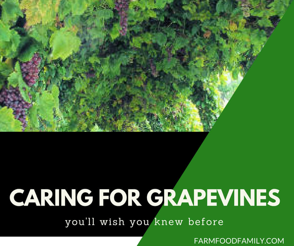 How To Care For Grapes In Summer