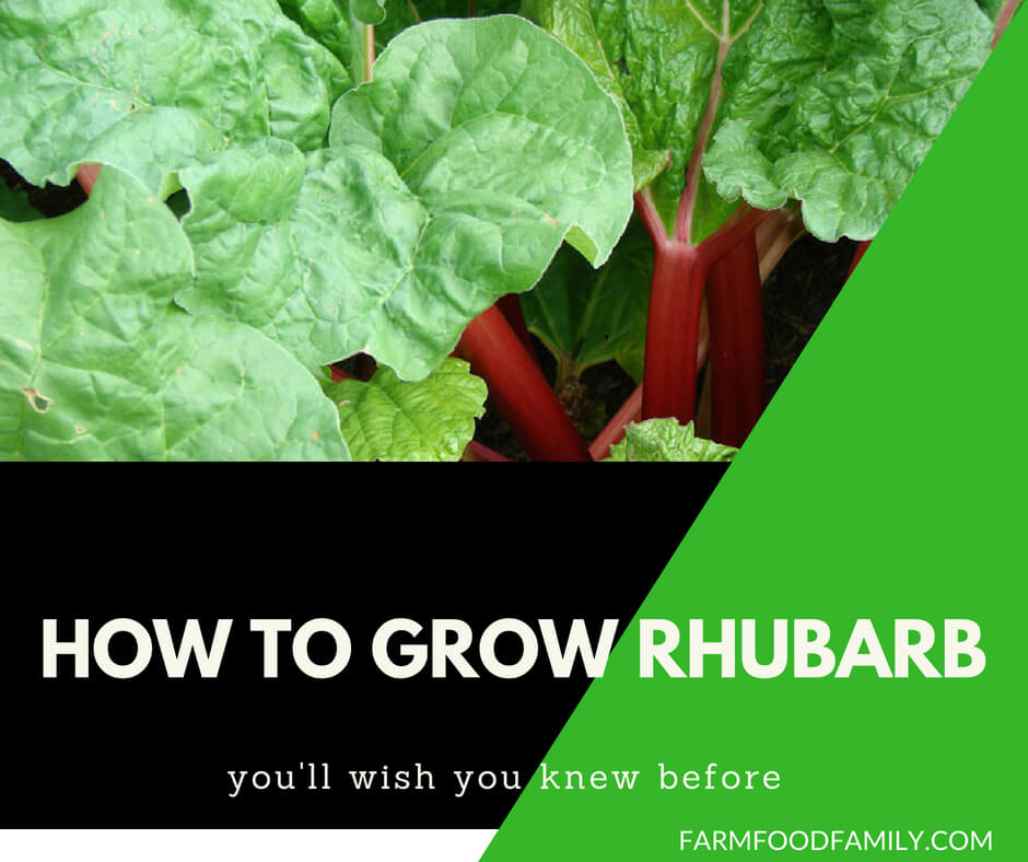 How to grow and harvest Rhubarb