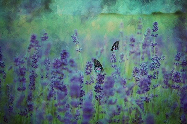 Lavender plants are quite sensitive and need to be sheltered. If your lavender is left in the open, unprotected from the unforgiving wind, it will die