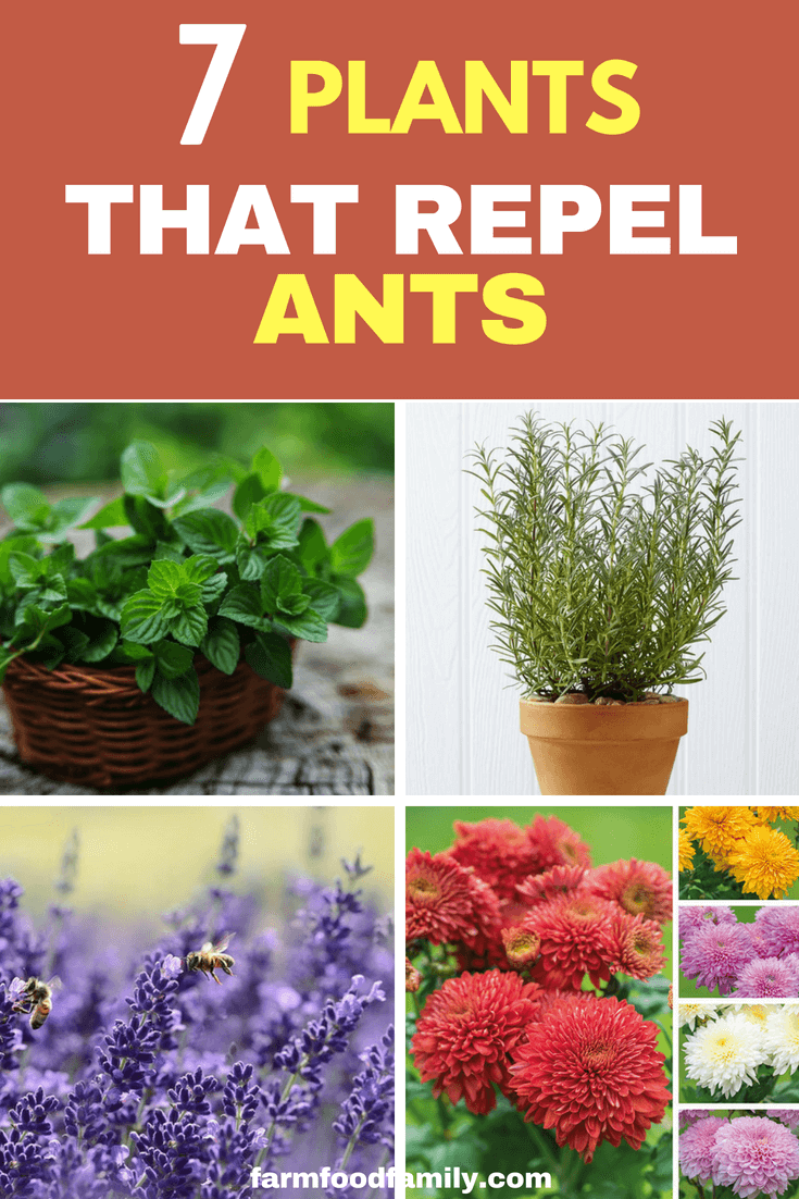 To protect your garden from ants naturally, I would like you to sow top 7 plants that repel ants.