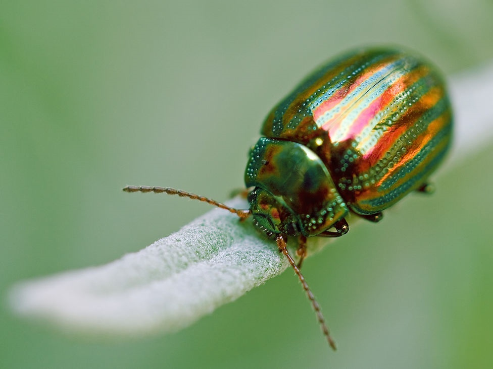 10 Worst Garden Pests: Rosemary Beetle