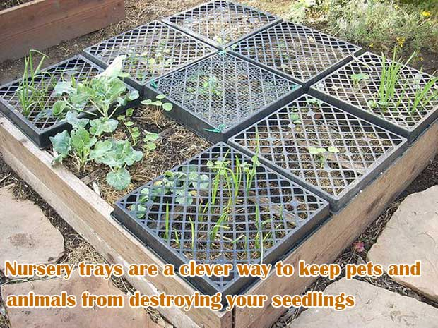 Nursery trays are a clever way to keep pets and animals from destroying your seedlings | Clever Gardening Ideas on Low Budget