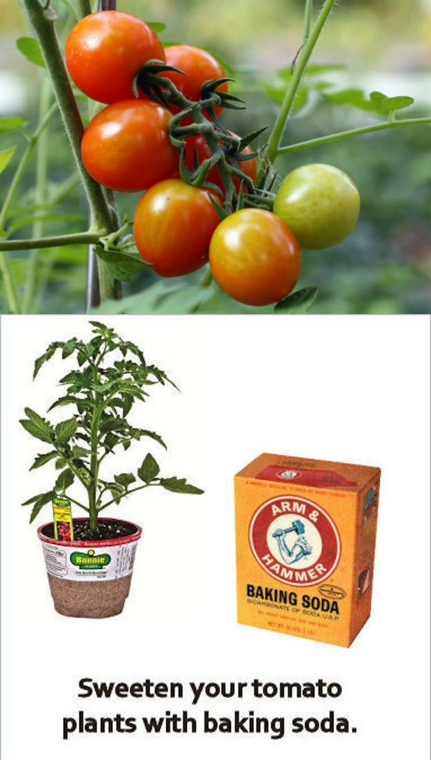 Sweeten your tomato plants by adding baking soda to the soil | Clever Gardening Ideas on Low Budget