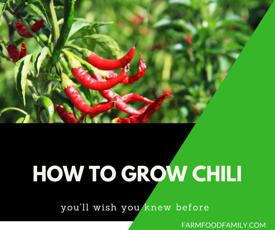How to grow chillies from seeds