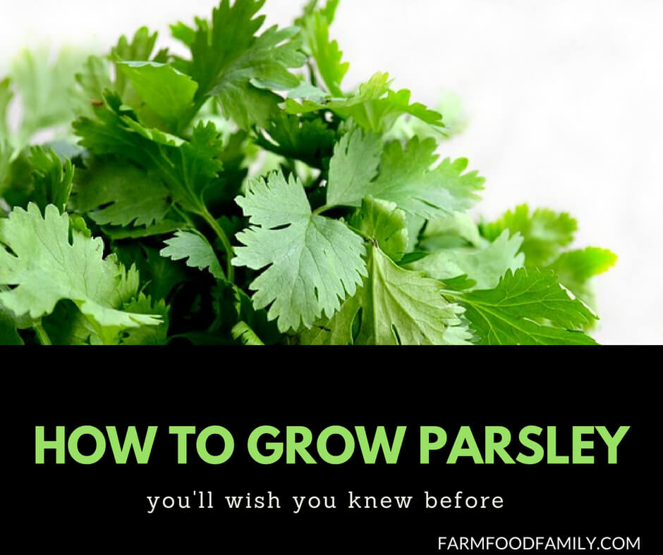 Growing Parsley at home step by step