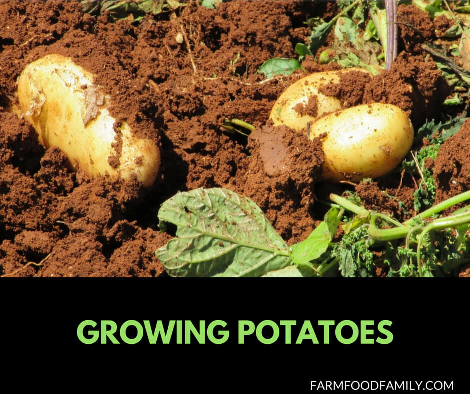 How to grow Potatoes from seeds