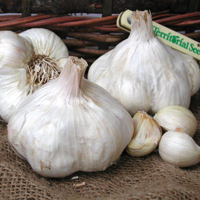 Soft neck garlic