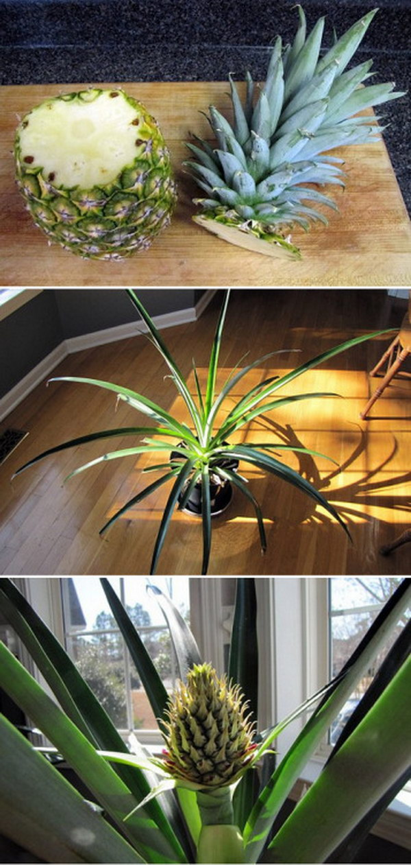 Re-Grow a Pineapple Simply from Planting It's Top