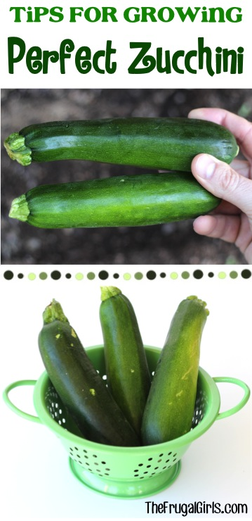 Tips on growing zucchini   Gardening Hacks and Trips