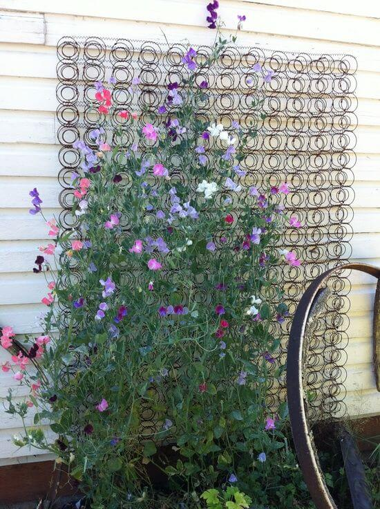 Old bed spring used as a trellis for sweet peas | Up-cycled Trellis Ideas For Garden