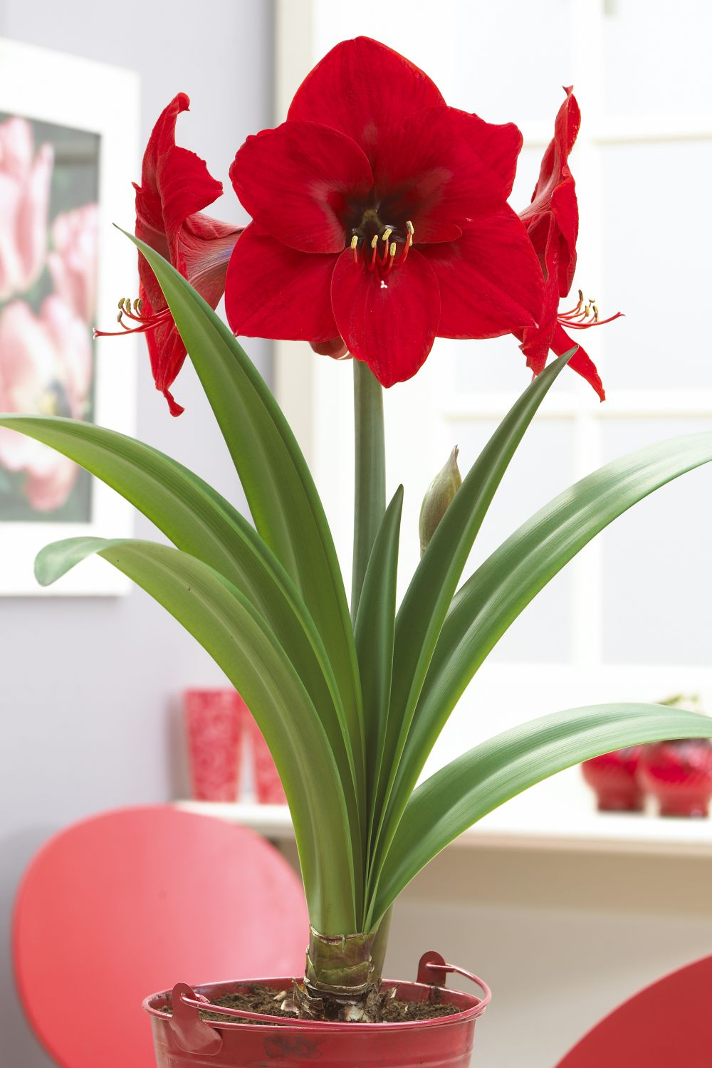 Amaryllis | Winter Flower Garden Indoors: Blooming Plants to Grow In the House during Cold Weather Months | FarmFoodFamily.com