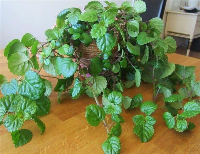 Black Swedish Ivy plant