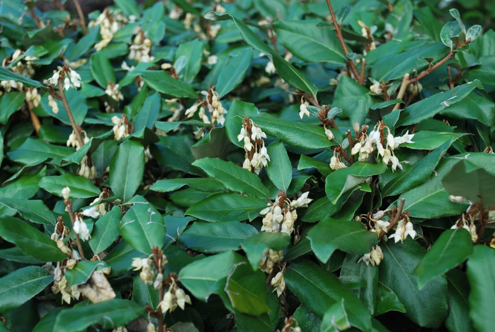 Eleagnus x ebbingei | Shrubs to Grow in Dry Shade