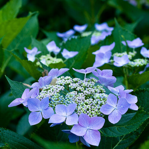 Hydrangeas macrophylla | Shrubs to Grow in Moist Shade
