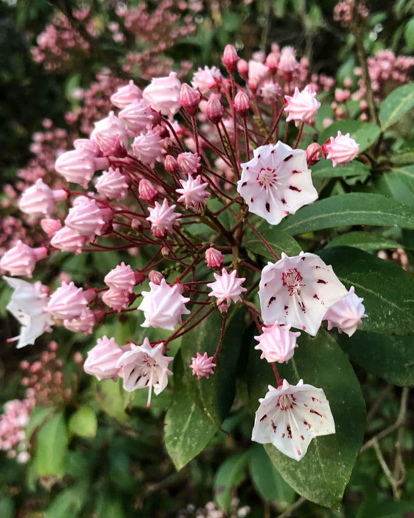 Kalmia Latifolia or Calico Bush | Shrubs to Grow in Moist Shade