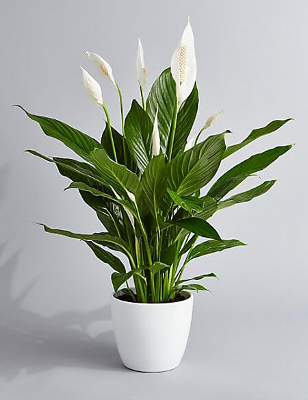 Peace Lily plants | Best House Plants That Heal