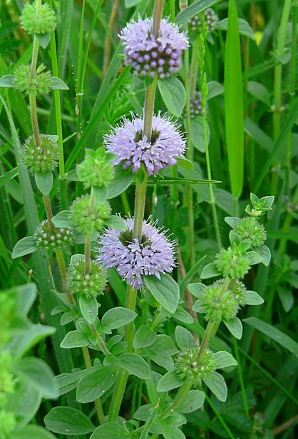 Pennyroyal plant - An herb that is not as well known as some of the other plants on the list but a great repellent for fleas, chiggers, flies and gnats.