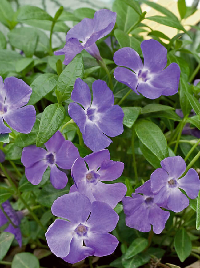 Vinca | Shrubs to Grow in Dry Shade