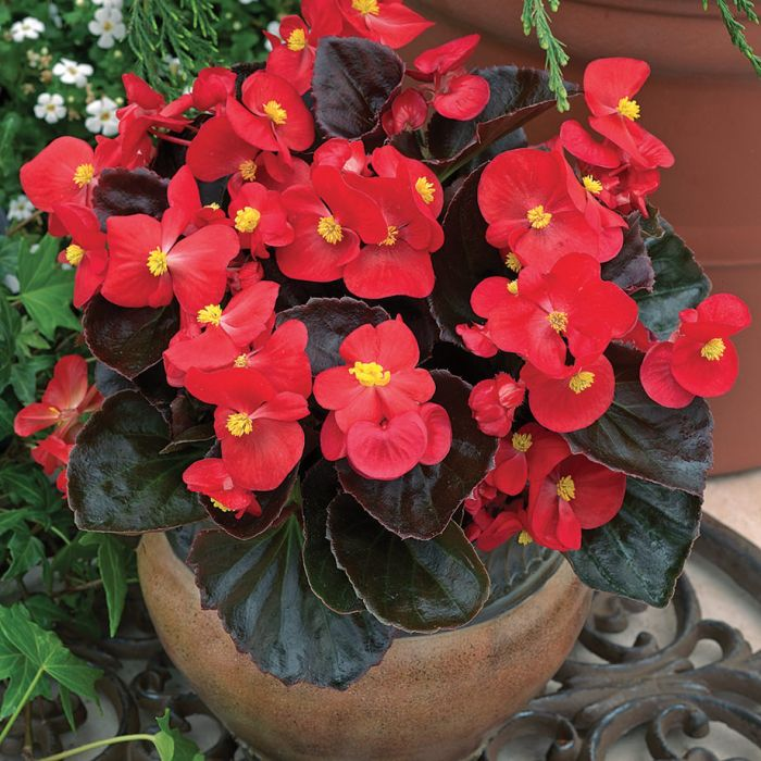 Begonia | Winter Flower Garden Indoors: Blooming Plants to Grow In the House during Cold Weather Months | FarmFoodFamily.com