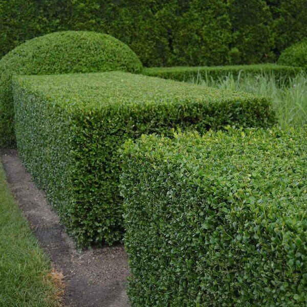 Buxus sempervirens or Box | Shrubs to Grow in Dry Shade