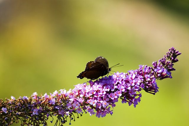 The Butterfly Bush and Beneficial Insects
