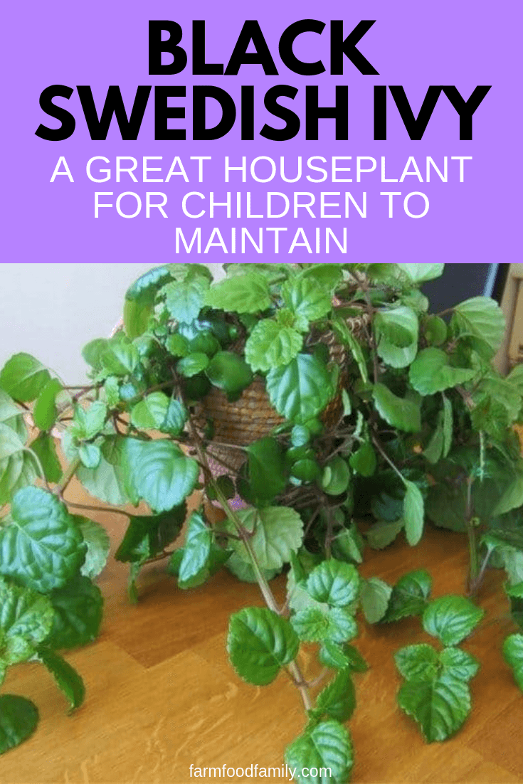 Black Swedish Ivy: A Great Houseplant for Children to Maintain