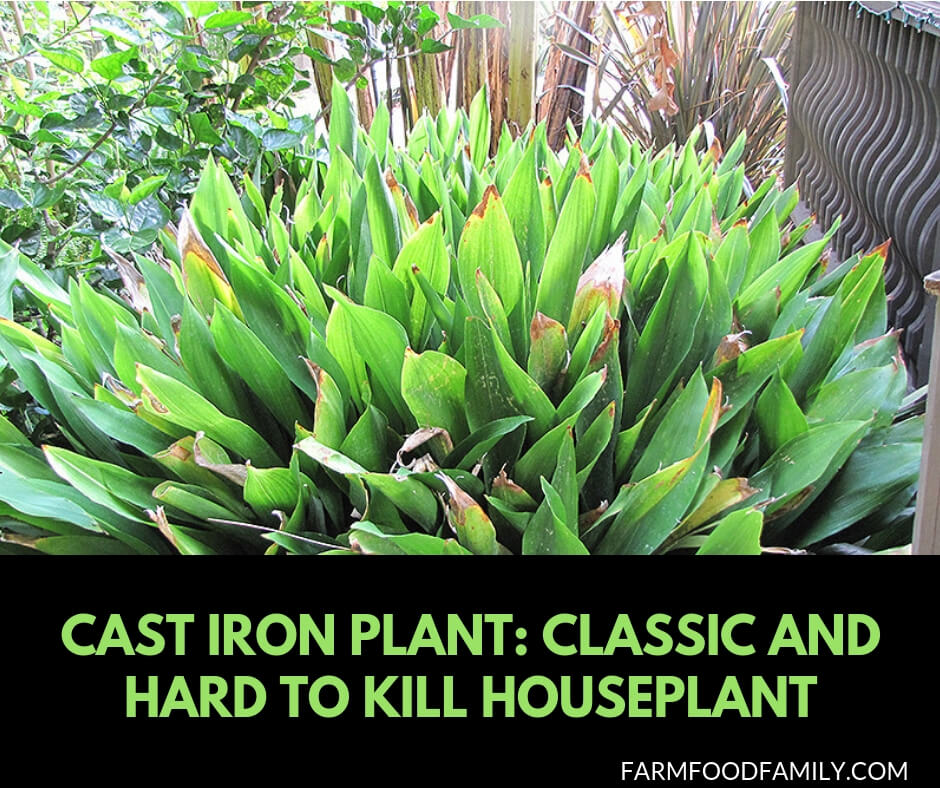 All you need to know about cast iron plant (aspidistras)