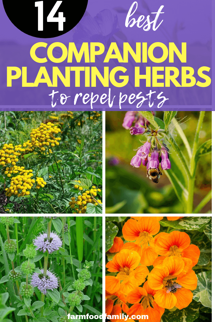 Companion planting herbs to repel pests