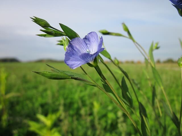Flax plant - The potato beetle is not a fan of the perennial flax plant. Inter-plant Flax and get healthier potatoes.