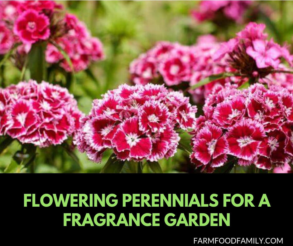 Flowering Perennials for a Fragrance Garden