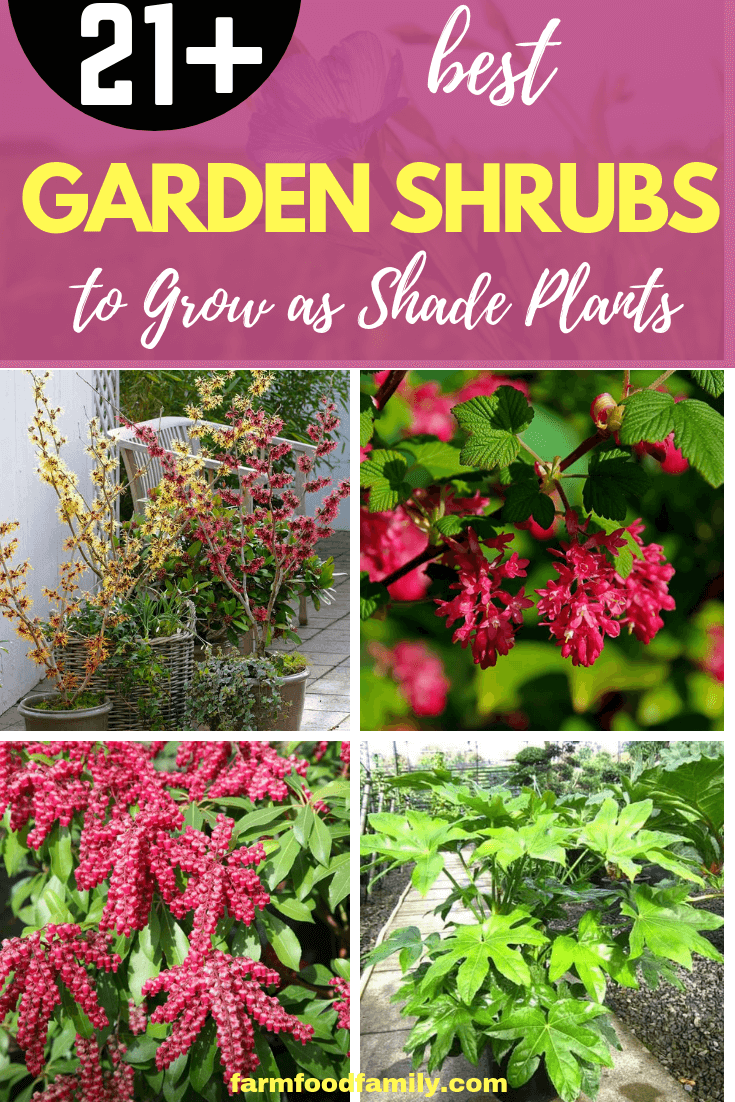 Garden Shrubs to Grow as Shade Plants: A Selection of Evergreen and Flowering Shrubs for Shaded Areas