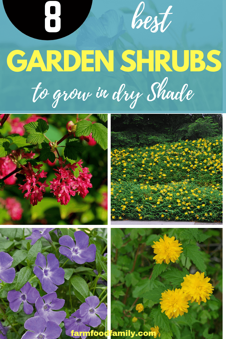 Shrubs to Grow in Dry Shade