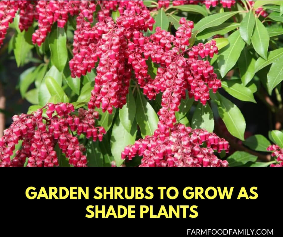 Garden shrubs to grow as shade plants