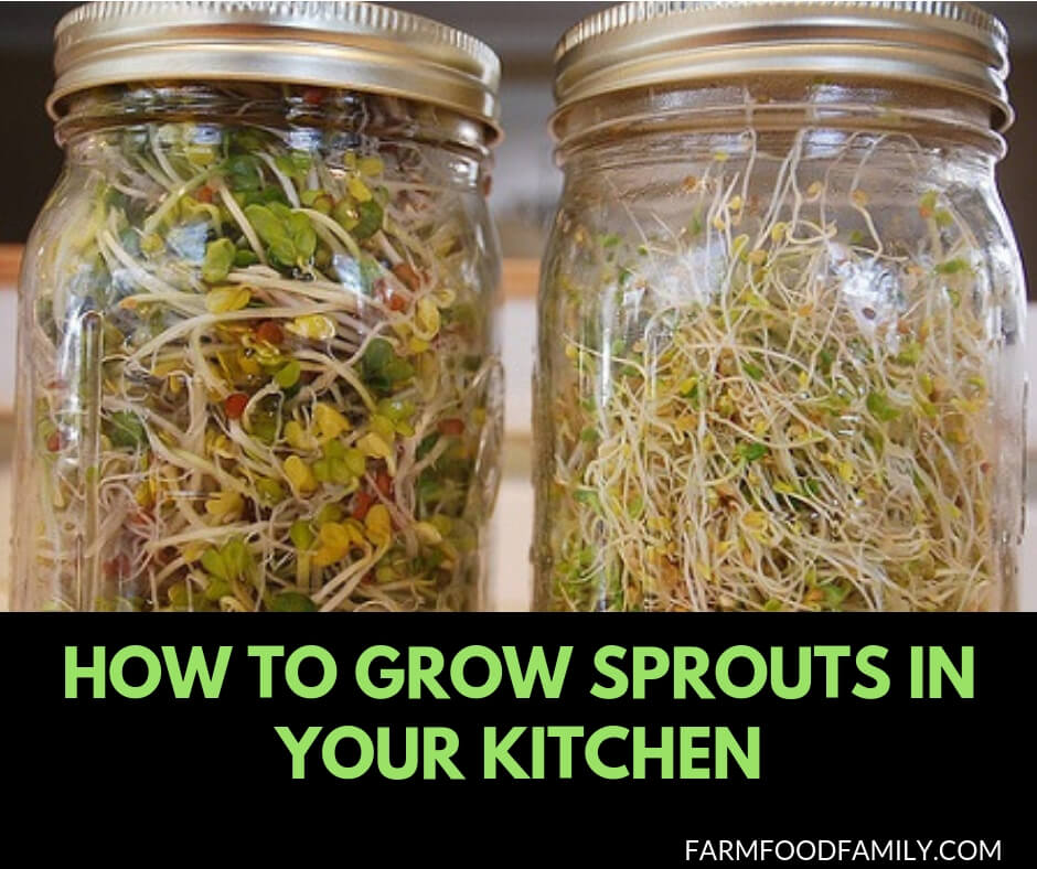 Growing sprouts at home in a mason jar