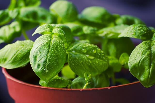 Growing Basil from seeds