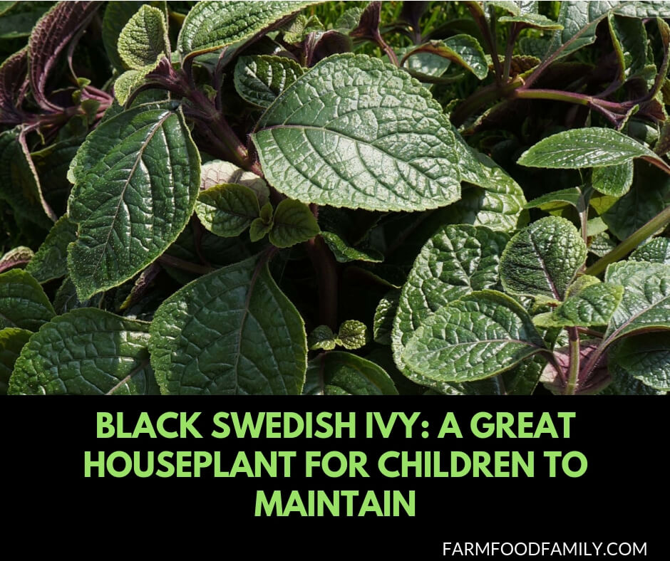 Caring for Black Swedish Ivy: a great houseplant for children to maintain