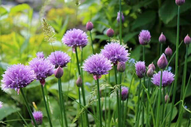 Growing Chives the right way
