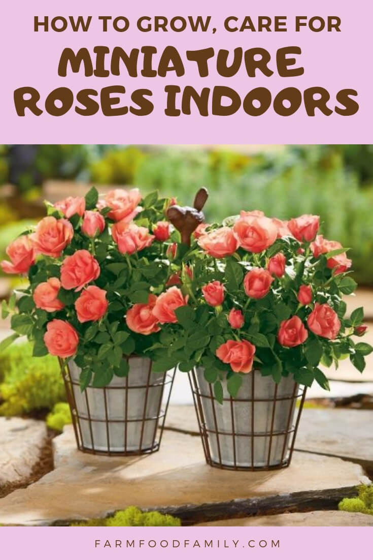 Growing Miniature Roses Indoors: Care, Feeding, and More