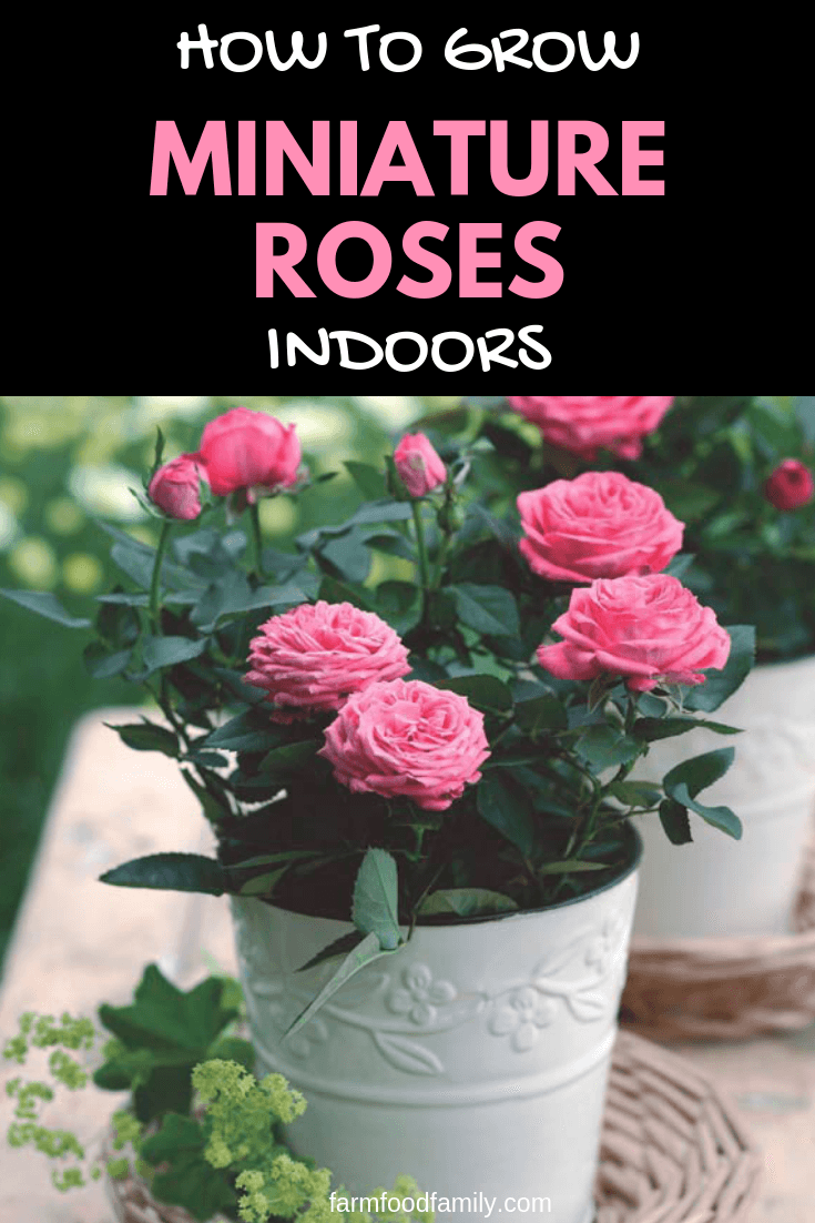 How to grow miniature roses indoors