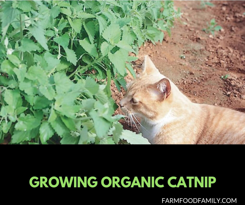 Growing catnip