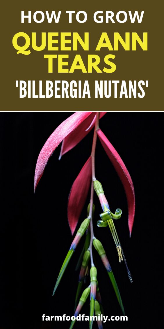 How to grow and care for Queen Ann Tears - Billbergia Nutans